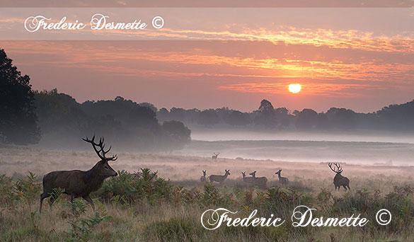 red-deer-cervus-elaphusdeer-standing-in-a-meadow-at-sunrise00100100