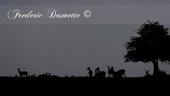 red-deer-cervus-elaphushind-silhouette-000044