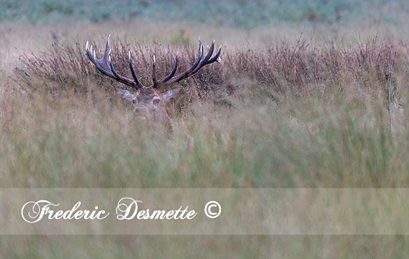 red-deer-cervus-elaphusstag-resting-in-the-grass000022